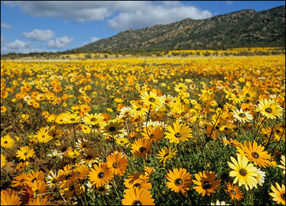 Namaqualand flowers - Photo from Google images