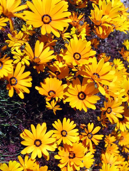 Namaqualand daisies.