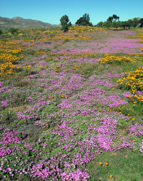 Namaqualand flowers.