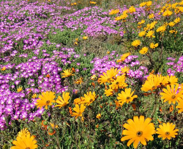 Namaquland flowers.