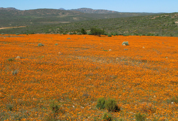 Field of Namaqualand daisies