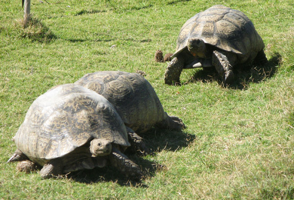 Mountain or Leopard Tortoises.