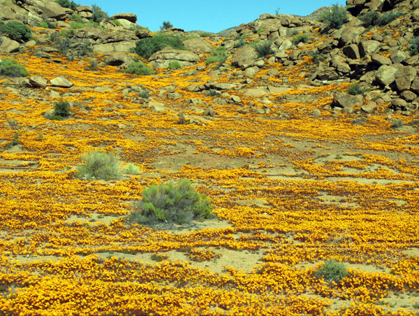 Namaqualand flowers just outside Nababeep.