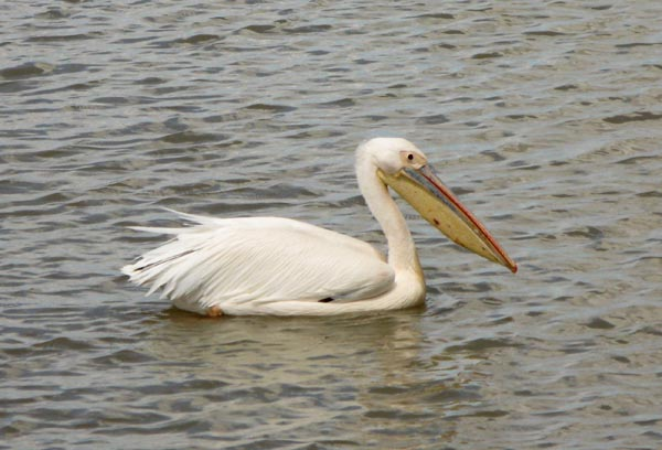 Spotted this Pelican waiting to feed on some of the throw aways.