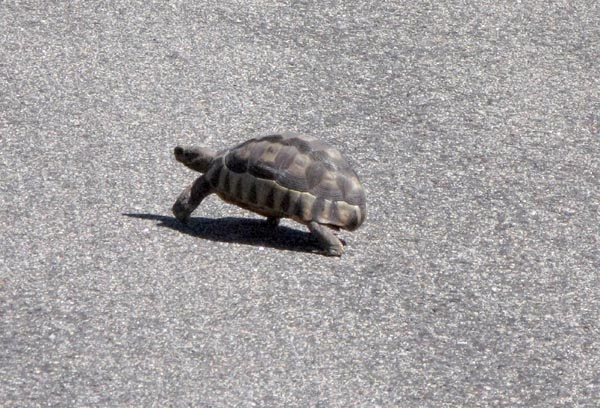 Why did the tortoise cross the road?