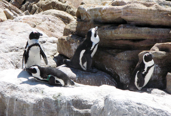 A few of the over 4,000 African Pnguins at Stony Point.